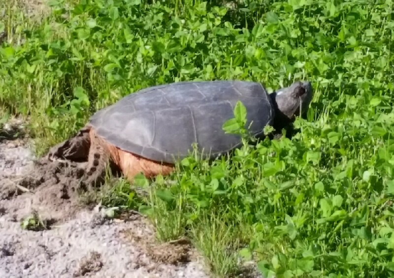 turtle laying eggs at Salmon Run Conservation Area spring 2016
